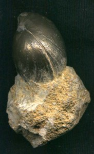 pyritisierter Brachiopode (Terebratula)aus Hartmannshof