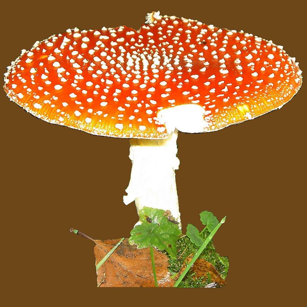 Pilze finden, sicher bestimmen und delikat zubereiten